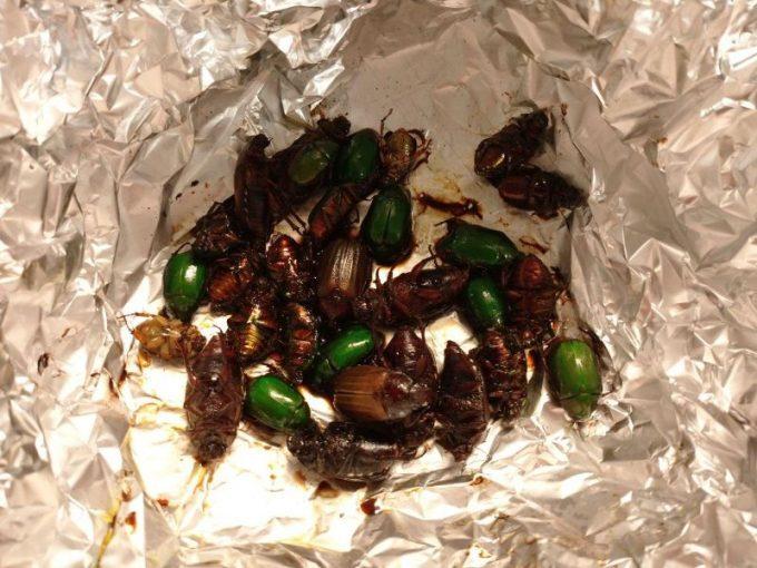 コガネムシを食べる